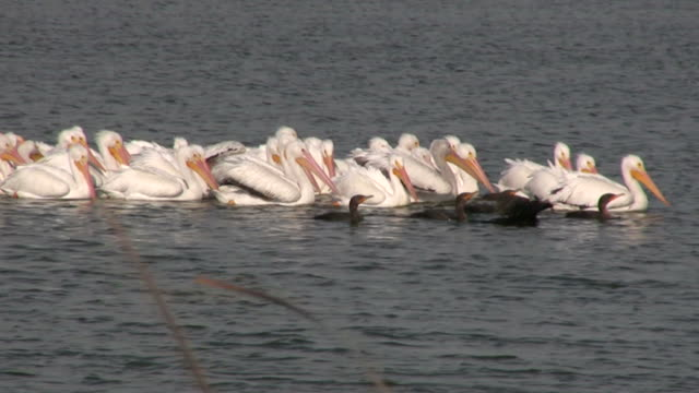 pelicans and anhingas - water bird stock videos & royalty-free footage