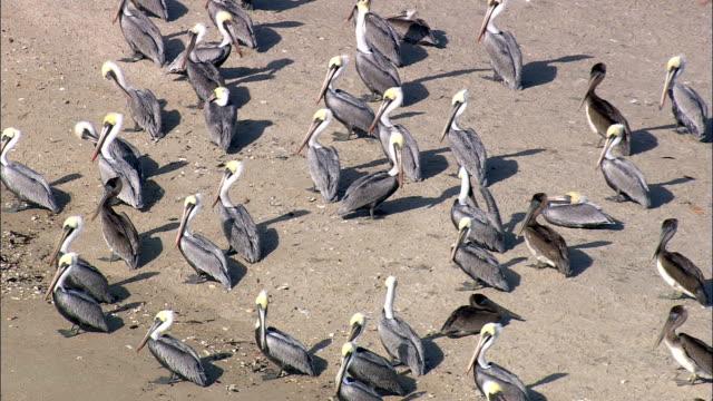 pelikane und andere vögel auf kleine gezeiten-insel - luftbild - north carolina, brunswick county, vereinigte staaten von amerika - weitere themen stock-videos und b-roll-filmmaterial