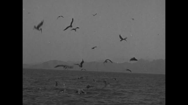 vídeos de stock e filmes b-roll de pov pelicans at sea flying and diving for food off the coast of mexico / note exact day not known - pelicano