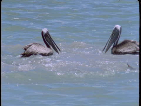 vidéos et rushes de pelicans circle dolphins that feed at the surface of the water. - cétacé
