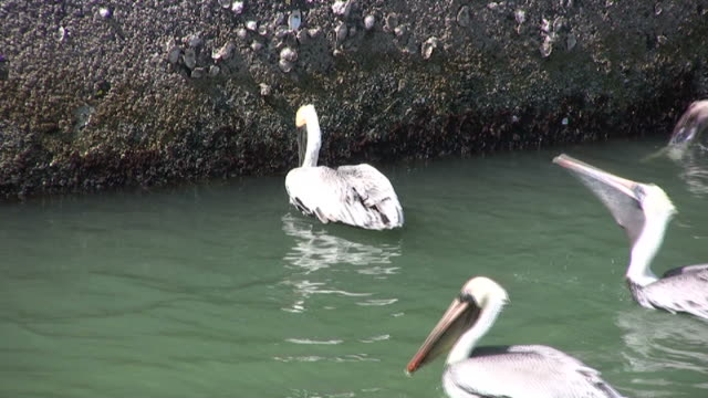 pelicans feeding along a seawall - barnacle stock videos & royalty-free footage