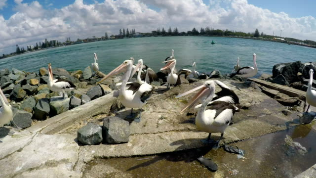 Pelicans feeding at the boat ramp at Forster