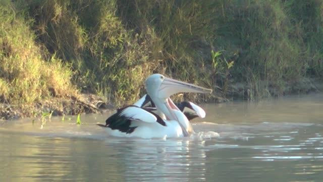 Pelicans fighting