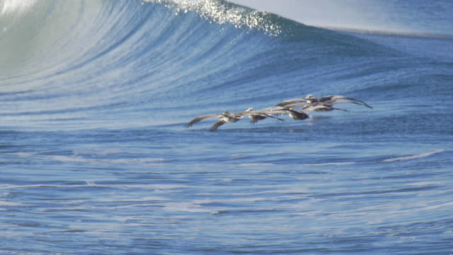vídeos de stock e filmes b-roll de pelicans fly over surfers and the pacific ocean. - slow motion - animals in the wild