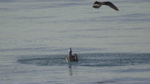 pelicans fly over the pacific ocean and dive for a fish. - pelican stock videos & royalty-free footage