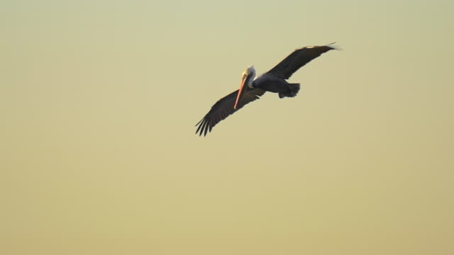 vídeos de stock e filmes b-roll de pelicans fly over the pacific ocean at sunrise. - slow motion - pelicano