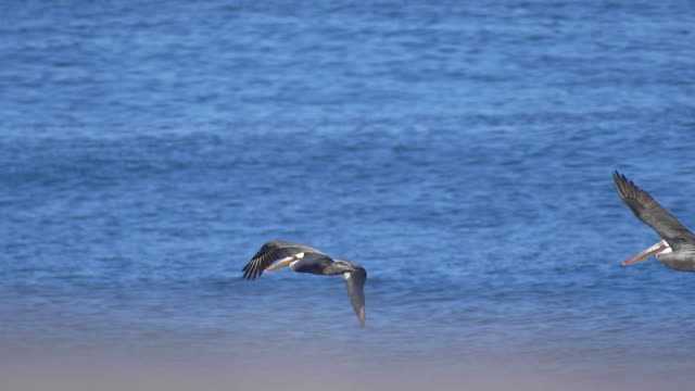 vídeos de stock e filmes b-roll de pelicans fly over the pacific ocean. - slow motion - animals in the wild