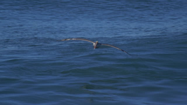 pelicans fly over the pacific ocean. - slow motion - pelican stock videos & royalty-free footage