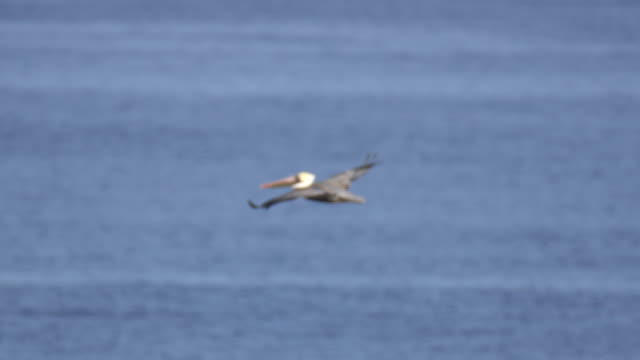 stockvideo's en b-roll-footage met pelicans fly over the pacific ocean. - pelikaan