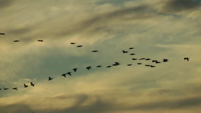 pelicans flying in formation - formation flying stock videos & royalty-free footage