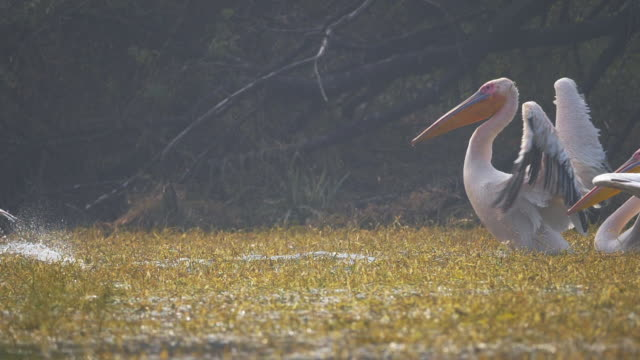 pelicans flying in slow motion - national park stock videos & royalty-free footage