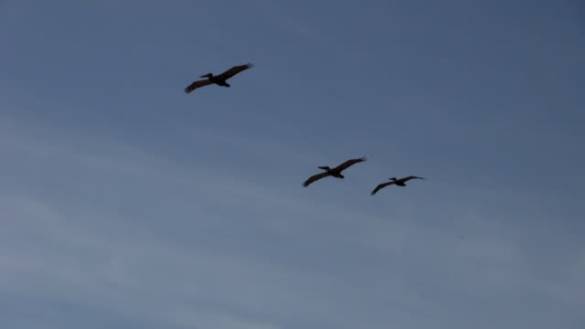 vídeos de stock, filmes e b-roll de pelicans flying in the clear sky - três animais