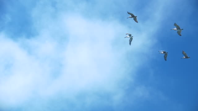 Pelicans Flying over San Francisco Bay, Slow Motion