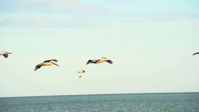 HD SUPER SLOW MO: Pelicans In Flight
