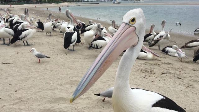 Pelicans in Labrador Gold Coast Queensland Australia
