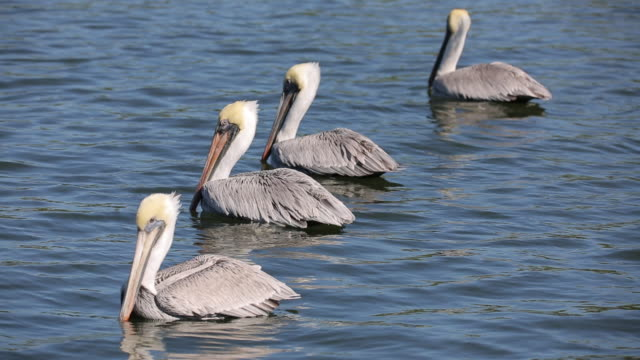 pelicans in ocean - pelican stock videos & royalty-free footage