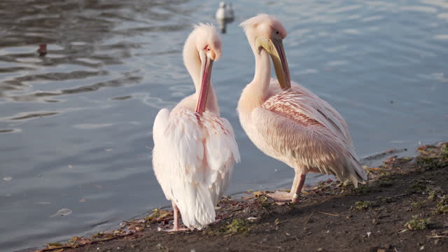 pelicans in the park in central london - pelican stock videos & royalty-free footage