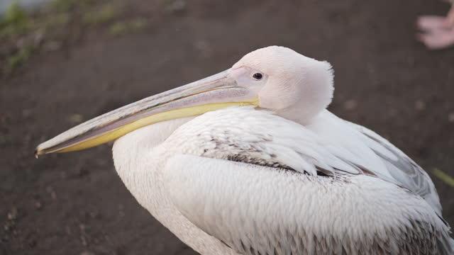 stockvideo's en b-roll-footage met pelikanen in het park in centraal londen - pelikaan