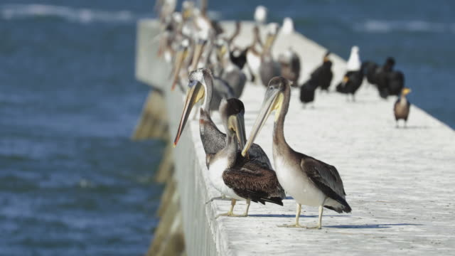 pelicans in the san francisco bay - baia di san francisco video stock e b–roll