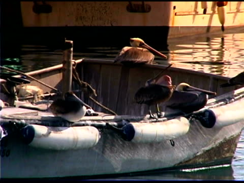 pelicans on boat in harbor, los angeles, california - cinque animali video stock e b–roll