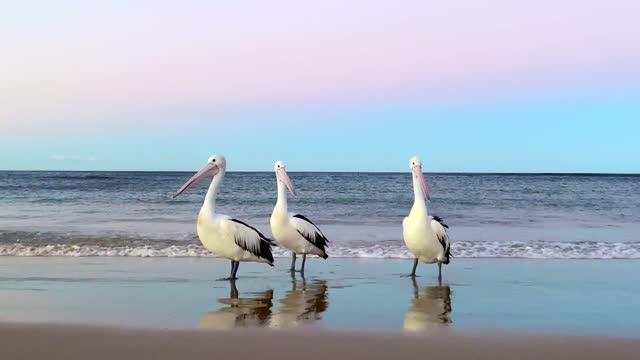 stockvideo's en b-roll-footage met pelicans on ocean shoreline at sunset - pelikaan