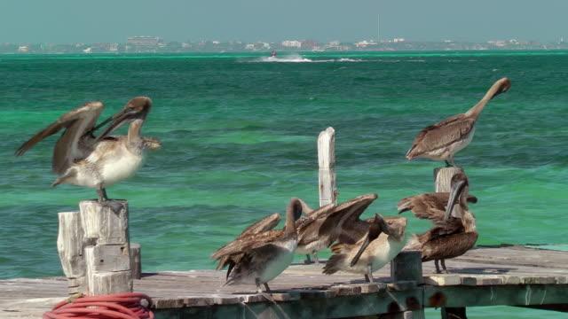 pelicans on pier - utfällda vingar bildbanksvideor och videomaterial från bakom kulisserna