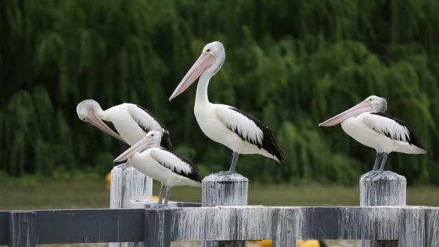 stockvideo's en b-roll-footage met pelicans on pier - dierlijke mond