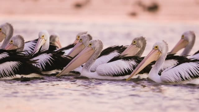 pelicans on the move - flock of birds stock videos & royalty-free footage
