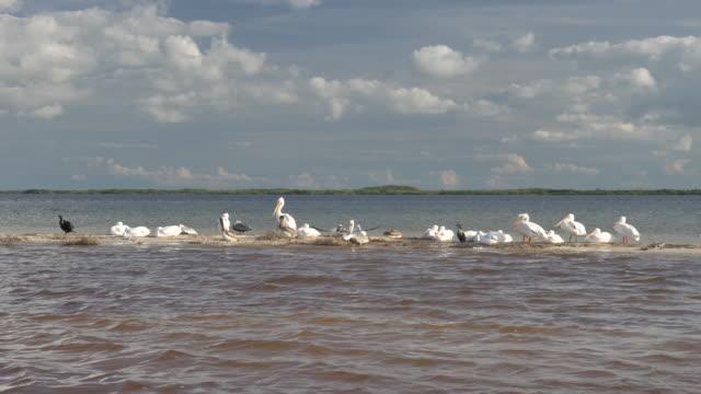 vídeos de stock, filmes e b-roll de pelicanos descansam em um barra de areia - tropical climate