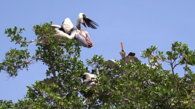 pelicans resting in trees - galapagos islands stock videos & royalty-free footage