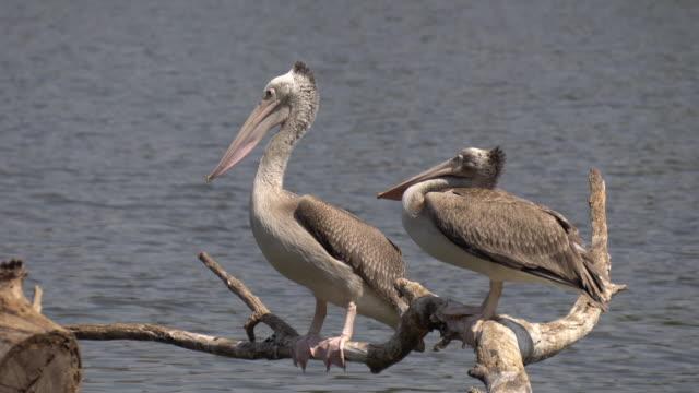 vídeos de stock, filmes e b-roll de pelicanos descansando. - pelicano