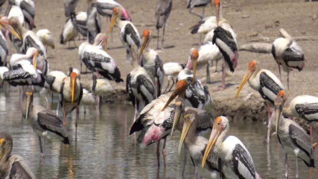 Pelicans resting.