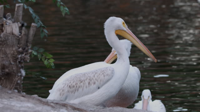 pelicans sitting at edge of a pond - pelican stock videos & royalty-free footage