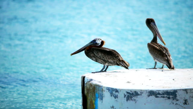 hd pelicans standing a a dock at a caribbean island - pelican stock videos & royalty-free footage