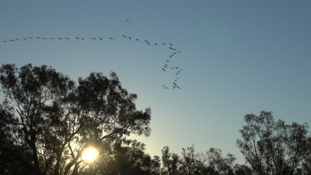 pelicans - formation flying stock videos & royalty-free footage
