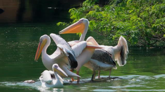 stockvideo's en b-roll-footage met pelicans - dierlijk gedrag