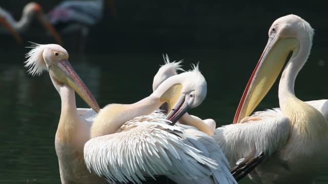 Des Pelicans