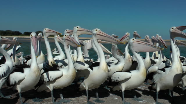 vídeos de stock, filmes e b-roll de pelicanos - pelicano