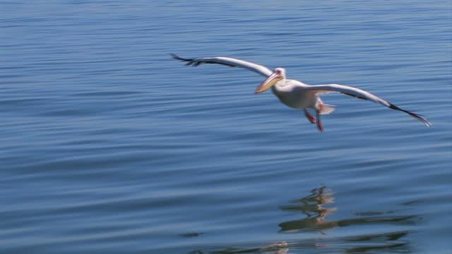 vídeos de stock, filmes e b-roll de pelikane_flug2 - pelicano