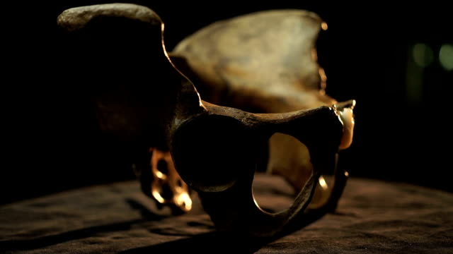 cu pelvic bones on turn table/ muldersdrift/ south africa - knochen im beckenbereich stock-videos und b-roll-filmmaterial