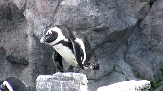 stockvideo's en b-roll-footage met penguin 3 - hd 1080/60i - vachtpatroon