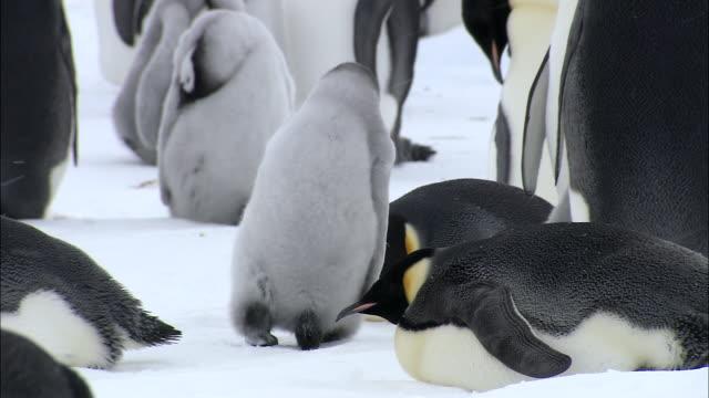 MS TS Penguin chick walking at snow  AUDIO / Ekström Ice Shelf,Atka Iceport Emperor Penguin Colony, Queen Maud land, Antarctica