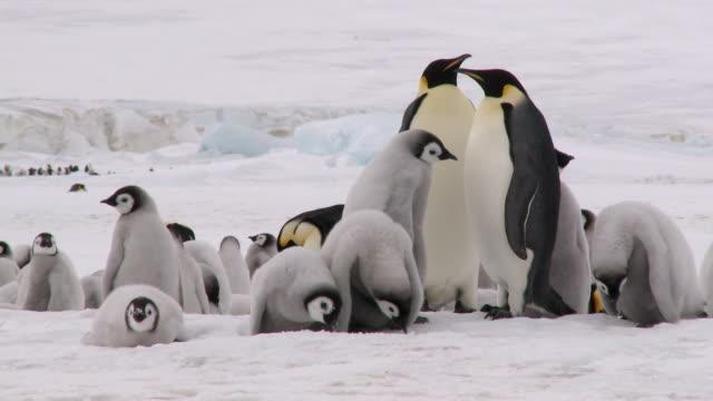 vídeos y material grabado en eventos de stock de pingüino pollos mirando hacia abajo - pingüino