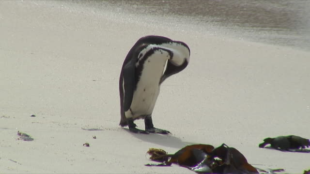 ws penguin cleaning feathers on beach / cape of good hope, south africa - flightless bird stock videos & royalty-free footage