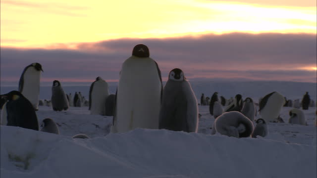 ms pan penguin colony at sunset / ekstrã¶m ice shelf,atka iceport emperor penguin colony,  queen maud land, antarctica - antarctica sunset stock videos & royalty-free footage