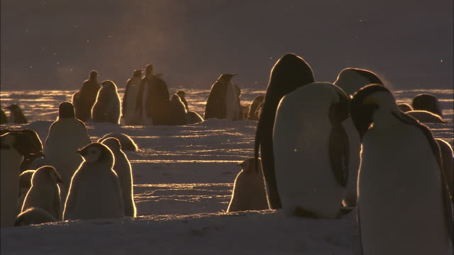 ms penguin colony in snowfall at sunset / ekstrã¶m ice shelf,atka iceport emperor penguin colony,  queen maud land, antarctica - antarctica sunset stock videos & royalty-free footage