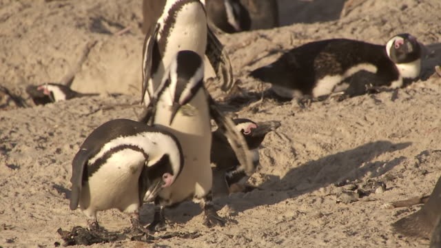 ms ts penguin colony on beach / western cape, south africa - boulder beach western cape province stock videos and b-roll footage