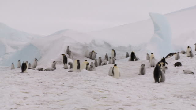 penguin colony panorama