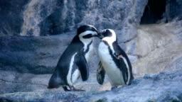 penguin couple cuddling in nature