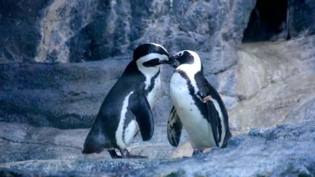 penguin couple cuddling in nature